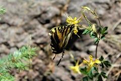 Farfalla a due code di coda di rondine nel lago canyon di legni, la contea di Coconino, Arizona, Stati Uniti fotografie stock