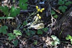 Farfalla a due code di coda di rondine nel lago canyon di legni, la contea di Coconino, Arizona, Stati Uniti fotografia stock