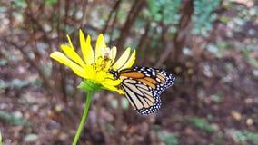 Farfalla e ape su una margherita Fotografia Stock Libera da Diritti