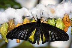 Farfalla e bozzoli Fotografie Stock