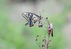 Farfalla e cavalletta Fotografia Stock