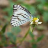 Farfalla e coatbuttons Fotografia Stock