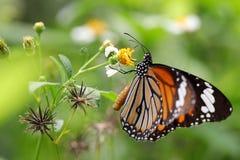 Farfalla e crisantemo Fotografie Stock