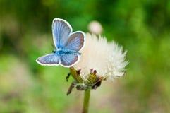 Farfalla e dente di leone Fotografia Stock