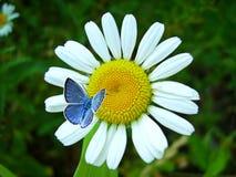 Farfalla e fiore blu Immagine Stock Libera da Diritti