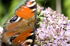 Farfalla e fiore del pavone Immagini Stock