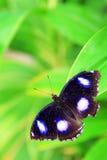 Farfalla e fogli Fotografia Stock