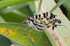 Farfalla e foglie di coda di rondine della tigre Fotografia Stock Libera da Diritti