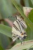 Farfalla e foglie di coda di rondine della tigre Fotografia Stock