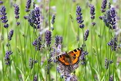 Farfalla e lavanda Fotografie Stock Libere da Diritti