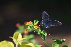 Farfalla e Milkweed di coda di rondine immagine stock