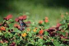 Farfalla e Milkweed di coda di rondine fotografie stock libere da diritti