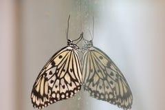 Farfalla e riflessione delle crisalidi dell'albero Immagine Stock