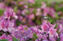Farfalla e rododendro Fotografie Stock Libere da Diritti