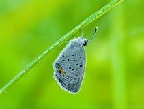 Farfalla e rugiada di Hairstreak Fotografia Stock Libera da Diritti