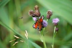 Farfalla ed insetto Fotografia Stock