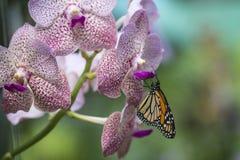 Farfalla ed orchidea di monarca Fotografia Stock Libera da Diritti