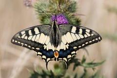 Farfalla elegante Immagini Stock