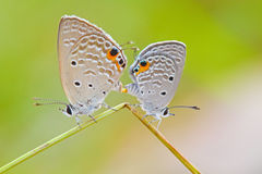 Farfalla Erba-Blu Fotografia Stock Libera da Diritti