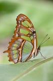 Farfalla esotica Immagini Stock