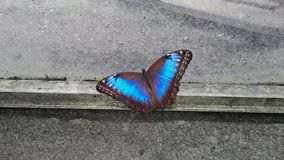 Farfalla esotica e blu che si siede sul concret Immagini Stock