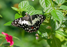 Farfalla esotica sul foglio in Malesia Immagine Stock