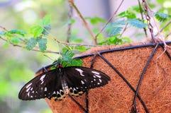 Farfalla femminile di Birdwing dei cairn Immagini Stock Libere da Diritti