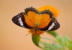 Farfalla in fiore giallo Fotografie Stock