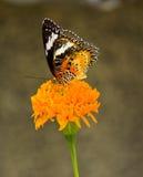 Farfalla in fiore giallo Immagini Stock