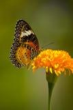 Farfalla in fiore giallo Fotografia Stock