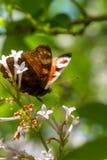 Farfalla Fiore selvaggio Immagini Stock