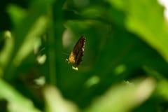 Farfalla fra le foglie Fotografia Stock