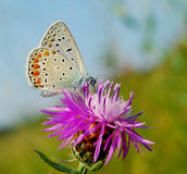 Farfalla fragile Immagini Stock