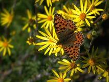 Farfalla - fritillaria fotografia stock libera da diritti