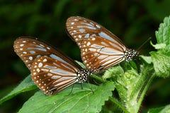 Farfalla in gemello Immagini Stock Libere da Diritti