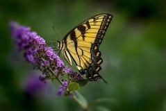 farfalla gialla Fotografia Stock
