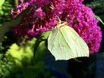 farfalla gialla Immagini Stock Libere da Diritti