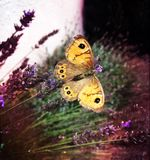 farfalla gialla immagine stock