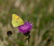 Farfalla gialla apannata Fotografia Stock