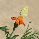Farfalla gialla appannata sul fiore del tagete immagine stock libera da diritti