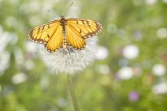 Farfalla gialla del coster che appende sul seme di fiore bianco di candelion fotografie stock