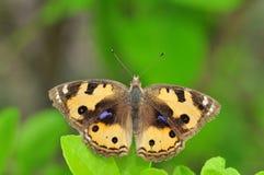 Farfalla gialla del Pansy Fotografie Stock