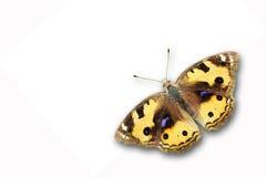 Farfalla gialla del Pansy Fotografia Stock