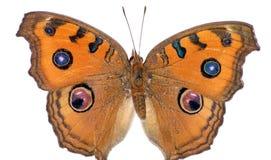 Farfalla gialla del pansy del pavone Immagine Stock Libera da Diritti
