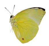 Farfalla gialla dell'emigrante del limone Immagine Stock