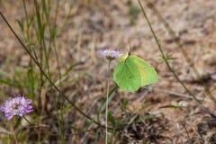 Farfalla gialla della cleopatra che si alimenta vicino in su Immagine Stock