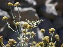 Farfalla gialla di Swallowtail Immagine Stock