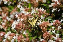 Farfalla gialla di Swallowtail Fotografie Stock