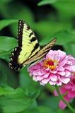 Farfalla gialla e nera che impollina fiore rosa Immagini Stock