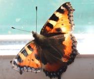 Farfalla gialla ed arancio purched su vetro immagine stock